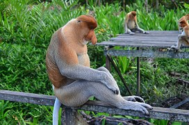 proboscis-monkey-212825__180